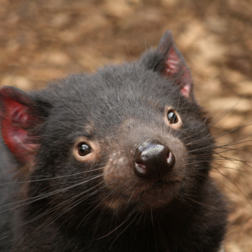 Tassie Devils Hold Clue for How Human Cancers Evade the Immune System