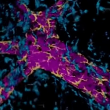 Microscopic behaviour of developing breast cells uncovered
